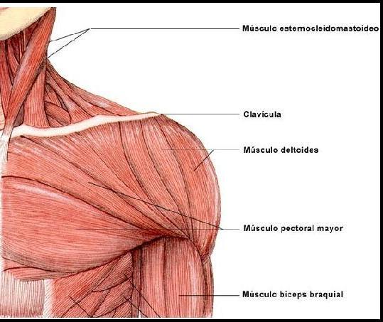 ejercicios de fuerza para pectoral mayor