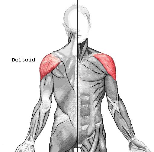 Músculo Deltoides Anterior y el Músculo Deltoides Medio