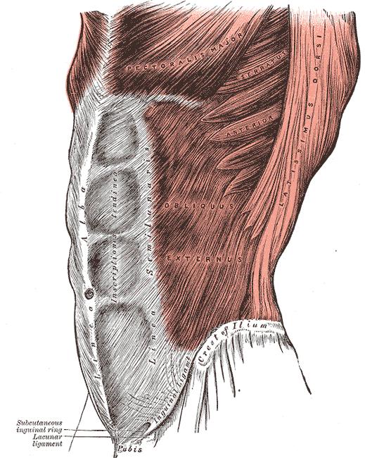 El Músculo Oblicuo Interno y El Músculo Oblicuo Externo
