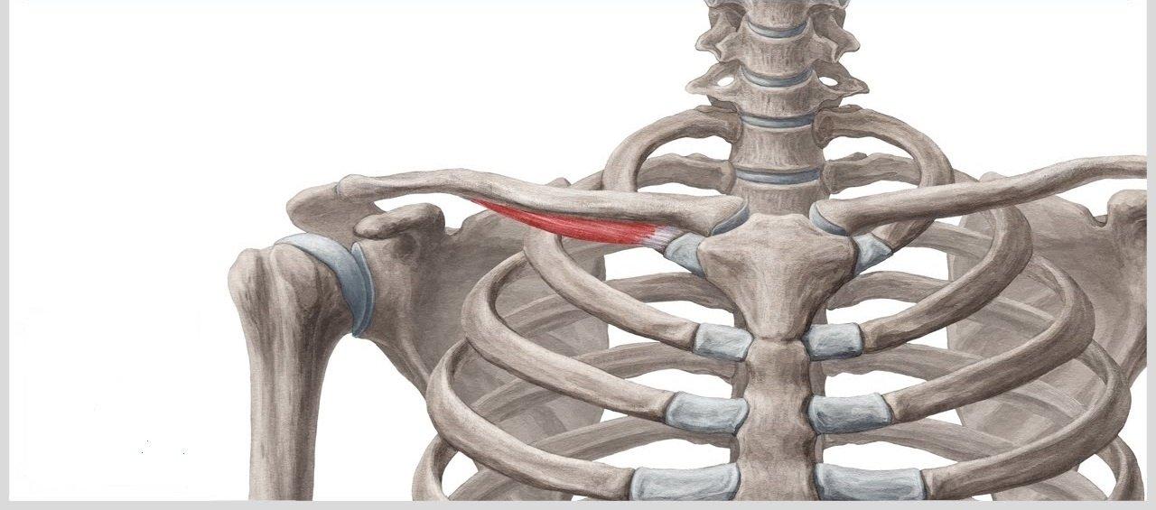 ejercicios para trapecio subclavio musculo trapecio musculo ejercicios ejercicios de trapecio