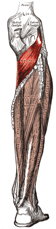 músculo poplíteo