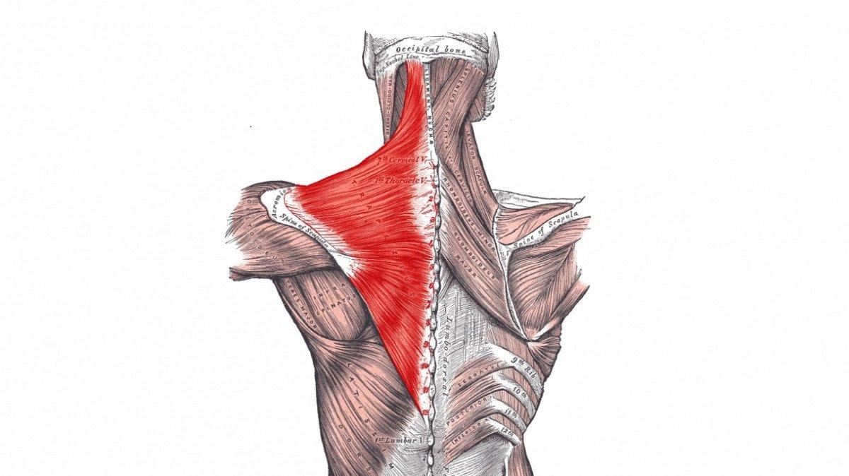musculo subclavio ejercicios subclavio ejercicios musculos subclavio trapecio musculo