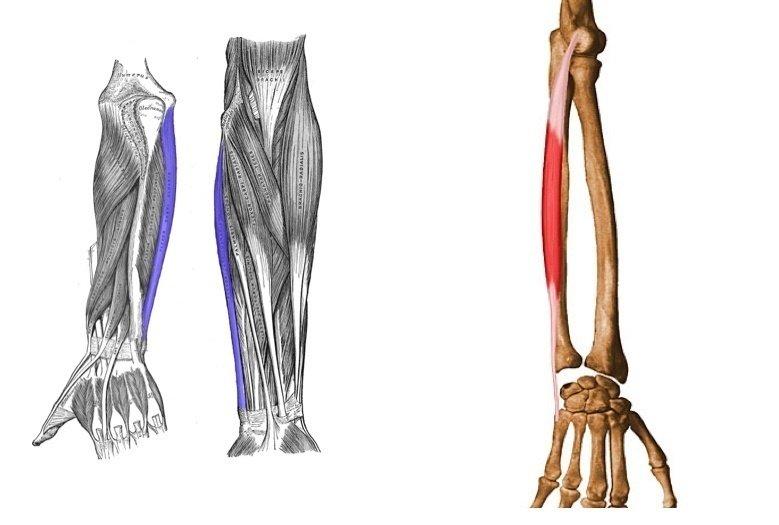 El Músculo Cubital Anterior