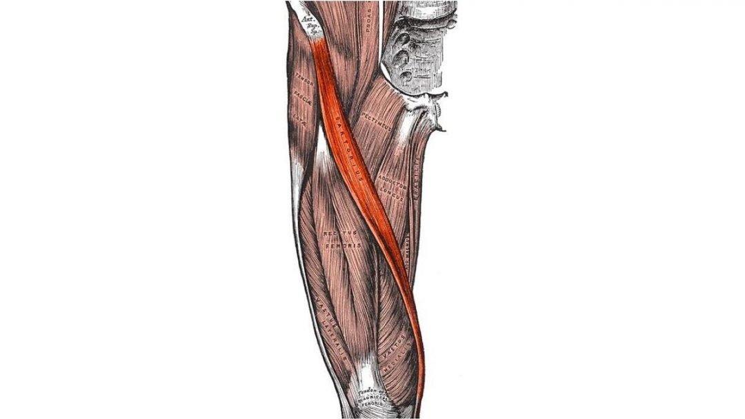 El Músculo Pectíneo