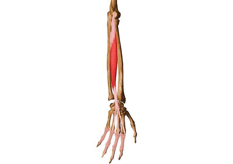 músculo Braquiorradial