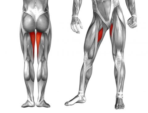 músculo aductor