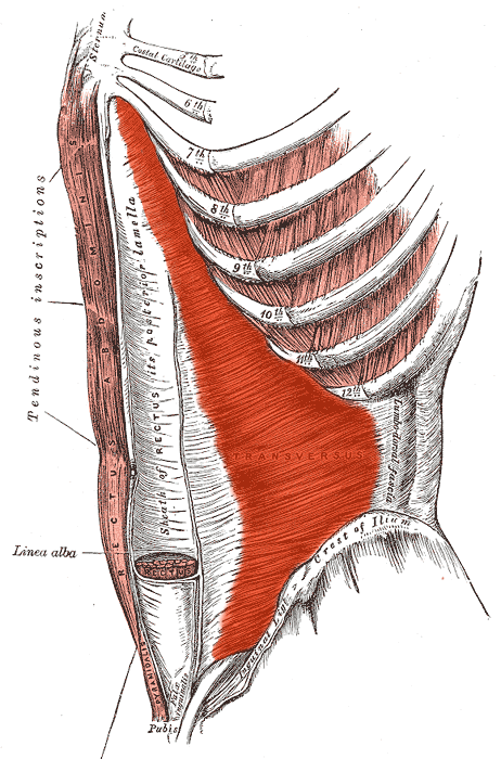 músculo transverso