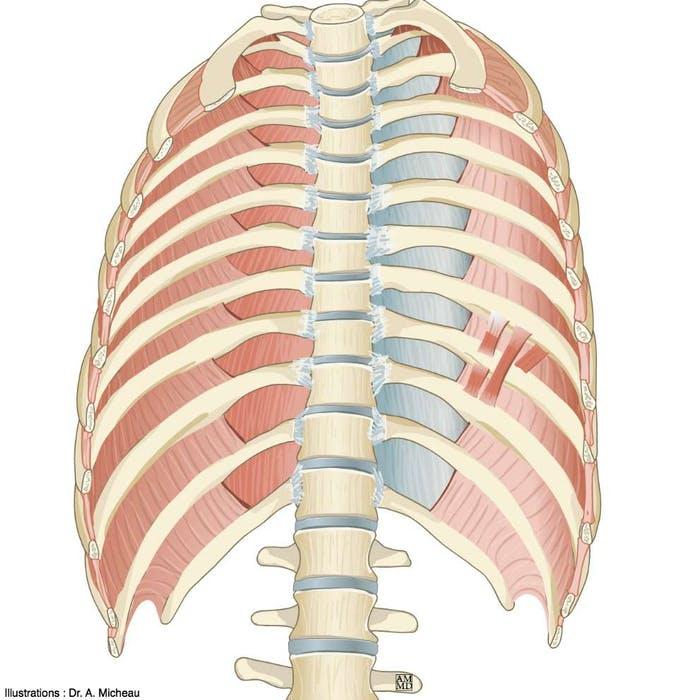 musculos subcostales